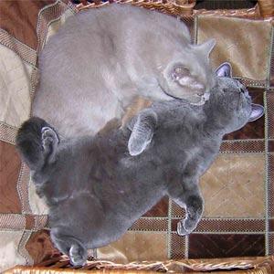 http://www.bristars.ru/img/breed2.jpg